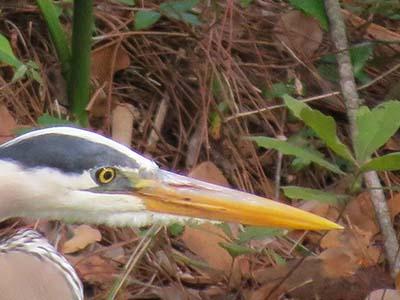 04/04/13 Blue Heron at the UU Pond