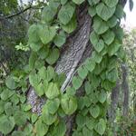 Invasive Air Potato Vine